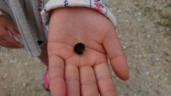 アオタテハモドキの幼虫