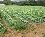 タバコ畑が広がります