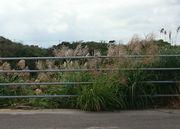 石垣島にもススキがさきます。