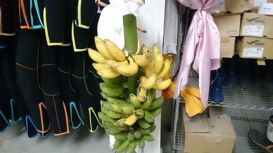 バナナの収穫です♪