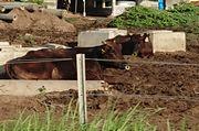 牛さんも暑そうです。