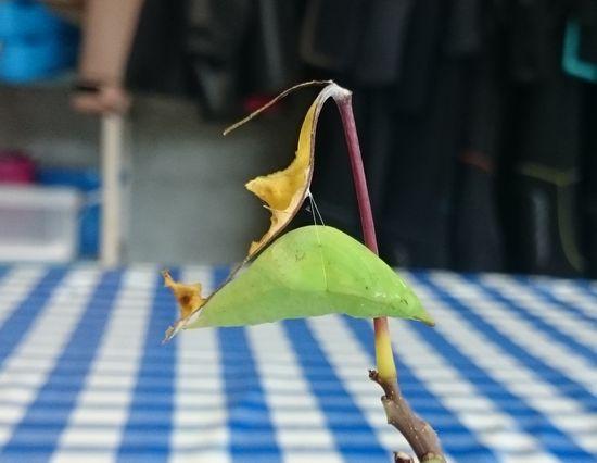 ツマベニチョウのサナギ