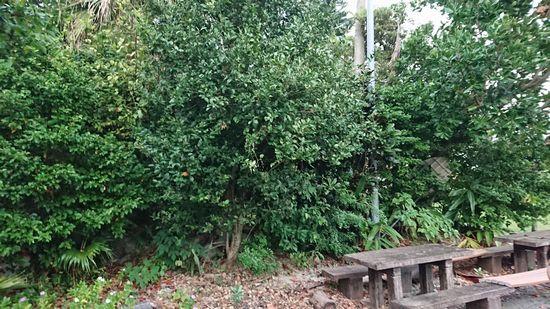 シークワーサの木