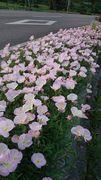 花壇の花、満開です