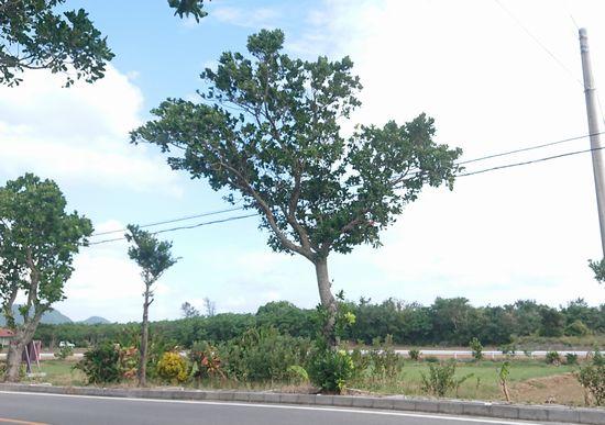 街路樹の木