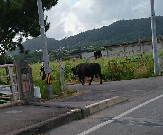 闘牛の牛が公道をお散歩です