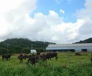 朝の涼しいうちに、お散歩している牛さんです
