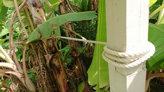 バナナ、ロープでしばります。