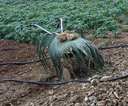 耕運機にクバの葉