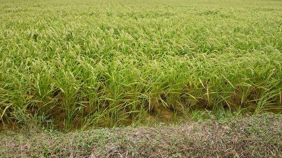 お米がそろそろ収穫時期です