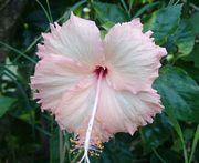 淡いピンク色のハイビスカス