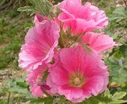 キレイな花です