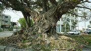 アコウの大木