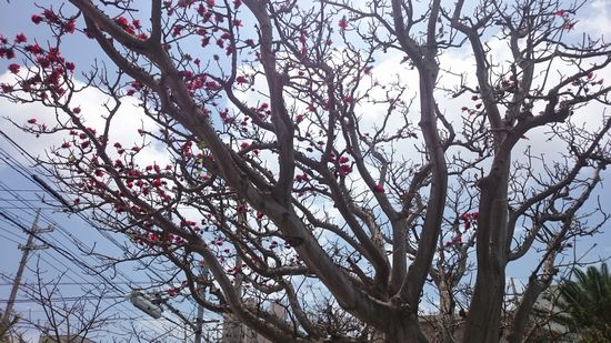 石垣市役所前で咲くディゴ