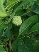 シャカトウ。甘いフルーツです