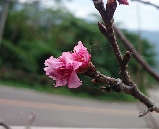 ヒカンサクラが咲いています。
