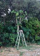 空き地のパパイヤの木。
