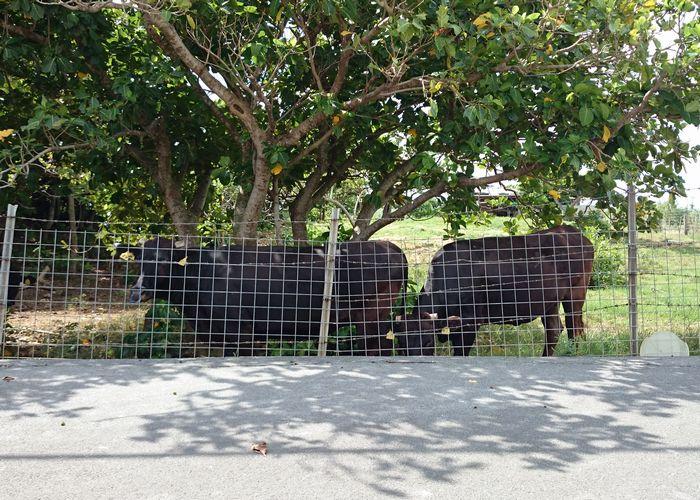 牛さんも暑そうです