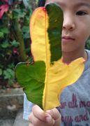 二色カラーの葉
