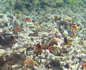 石垣島のシュノーケリングショップ『さんご礁の海から』のポイント紹介 クマノミマンション