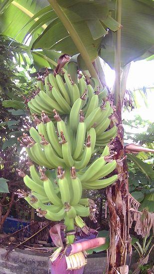 立派なバナナになりそうです。