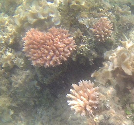 おっ!サンゴが復活してきていますね