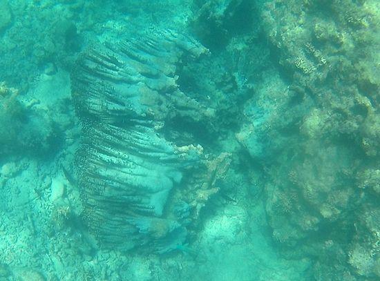 倒れてしまったアオサンゴ