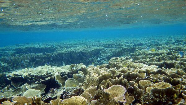 マイタケみたいなサンゴ。リュウキュウキッカサンゴ群落