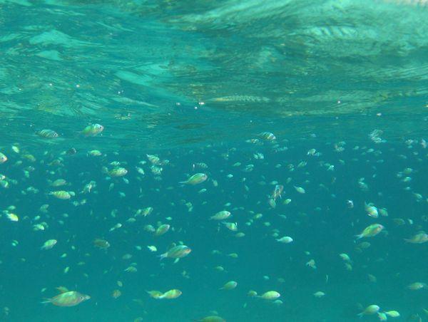 水面から水底までびっちり群れるデバスズメダイ