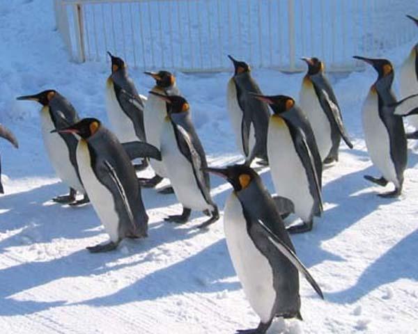 ヨチヨチ歩きのペンギンさん