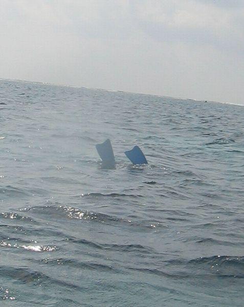 水中で激写中!フィンのみが水面にでています。