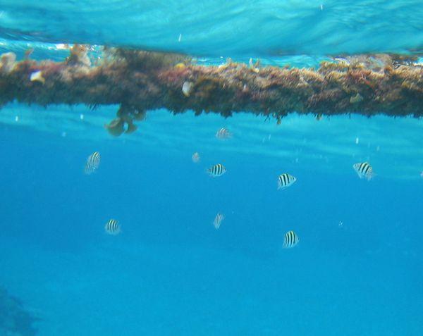 オヤビッチャの幼魚