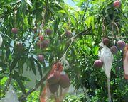 石垣島の路地裏のマンゴー