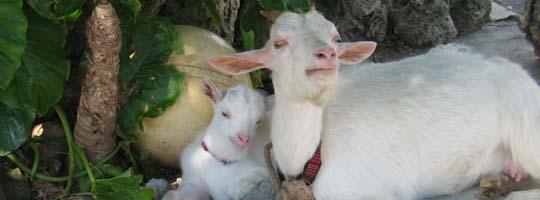 集落にいたヤギの親子