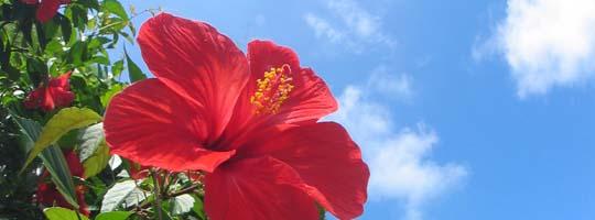 ハイビスカスは年中開花します