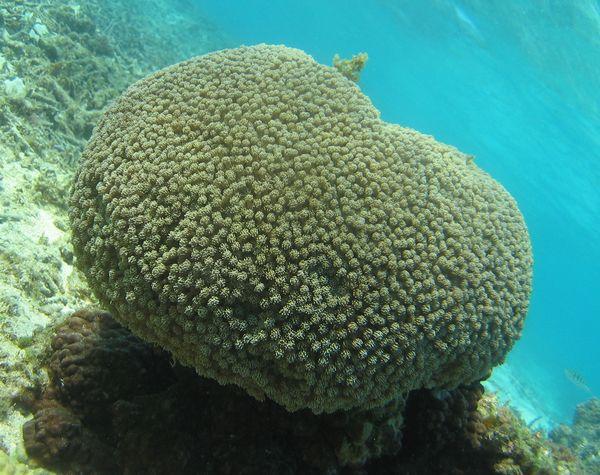 プニプニしたサンゴ。キクメハナガササンゴ