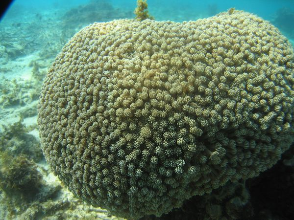 危険を感じるとつるっぱげになるキクメハナガササンゴ