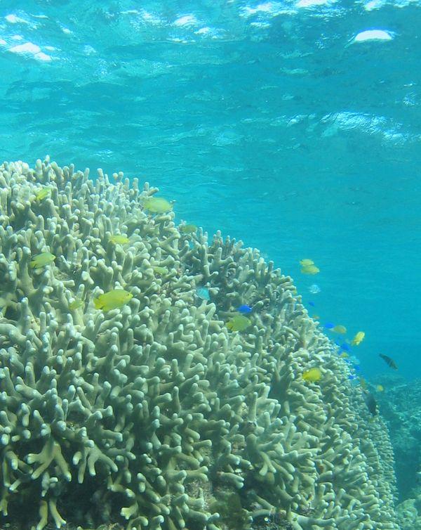 きれいなユビエダハマサンゴ