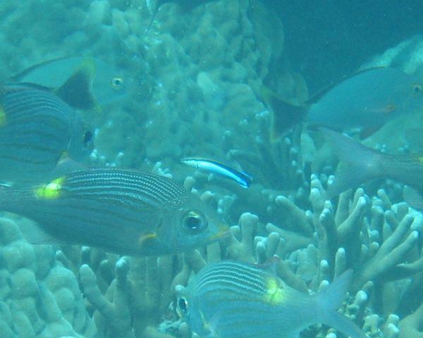 クリーニングの代表魚 ホンソメワケベラ