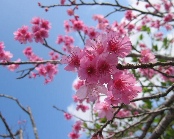 日本一早い桜 石垣島