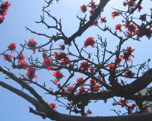 石垣島の風物詩 でぃご
