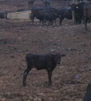 先日出産に立ち会ったと思われる子牛