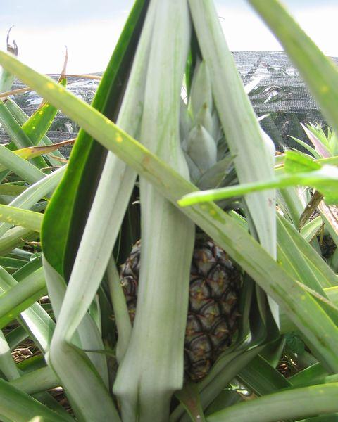 パイナップルの日焼け対策