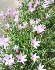 気圧花。気圧変化によって開花するらしいですが。。。