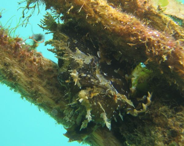 カエルアンコウがロープの間に隠れています