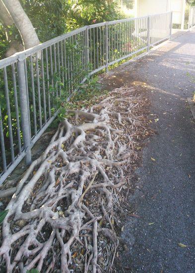 歩道に木の根っこがびっちりです