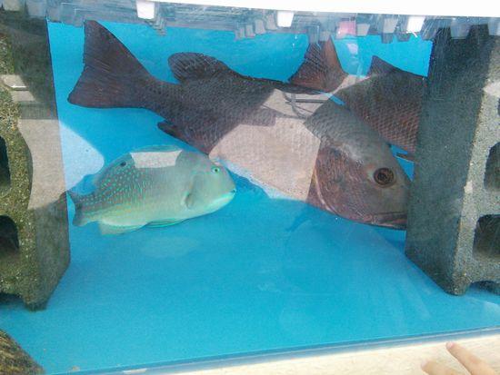 食べれるお言いしいお魚さんの水槽♪