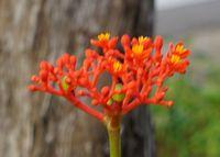 サンゴ花、開花委しています。