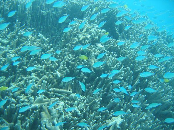 リクエストの青い魚さんの群れ