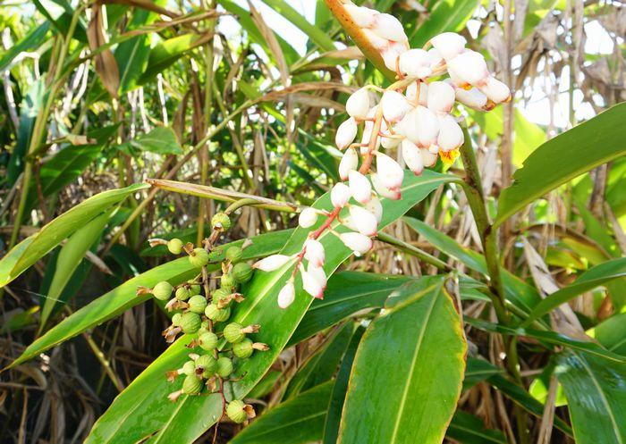 月桃の花と実